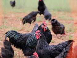 30 Free Range Layer Chicks | Black Australorp | Week old chicks Hens Only